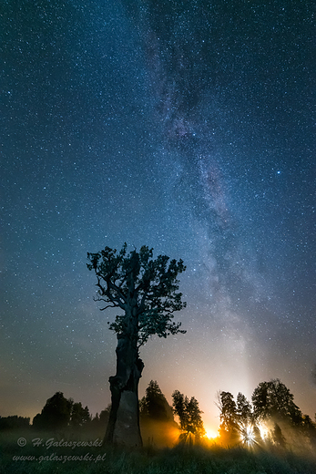 Milky Way  Dąb